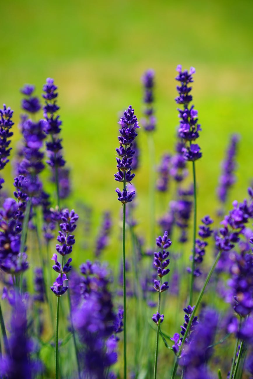 Stock photo. A close-up photograph of lavender flowers in a field.